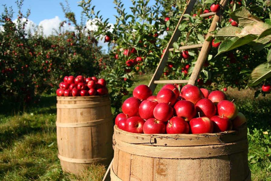 Berba crvenih jabuka